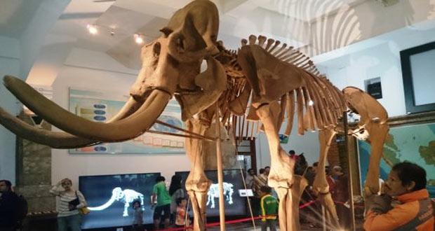 Fosil Gajah Blora yang termasuk gajah purba terbesar di dunia (foto : palingaktual.com)