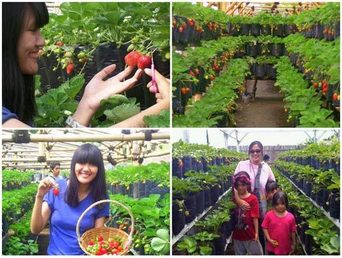 Ilustrasi wisata petik strawberry di Rumah Stroberi Lembang (foto : liburananak.com)