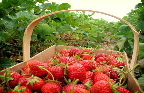 Ilustrasi buah strawberry yang siap di bawa pulang (foto : stihyapertiba.blogspot.com)