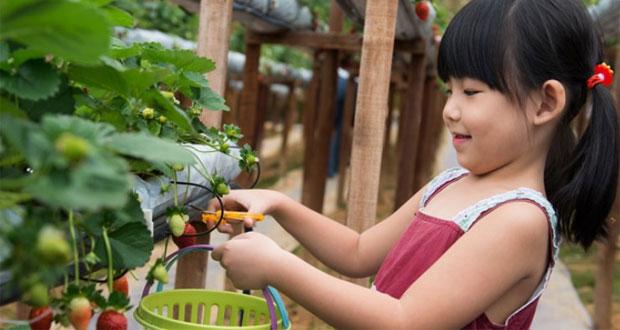 Ilustasi wisata petik strawberry di Ciwidey, Bandung (foto : sebandung.com)