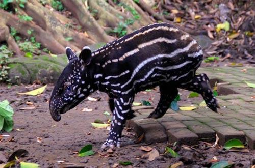 Ilustrasi bayi tapir Marsel (Tapirus Indicus) berumur 3 hari yang menjadi primadona di Kebun Binatang Bandung, Jawa Barat (foto : TEMPO/Aditya Herlambang Putra)