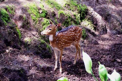 Ilustrasi Rusa, salah satu hewan penghuni Kebun Binatang Di Bandung (foto : susankrisanti.wordpress.com)