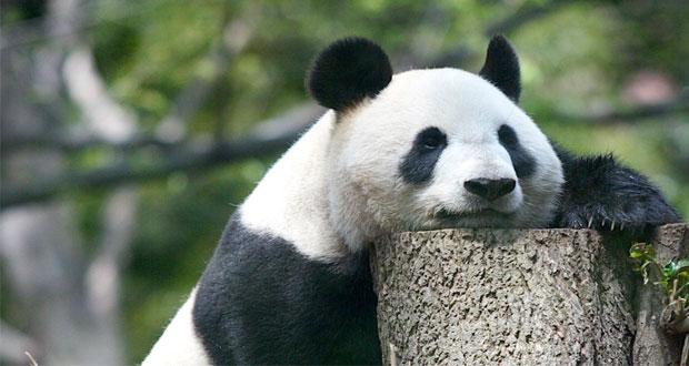 Panda di tempat wisata Ueno Zoo Tokyo, Jepang (foto : japanphototrip.com)