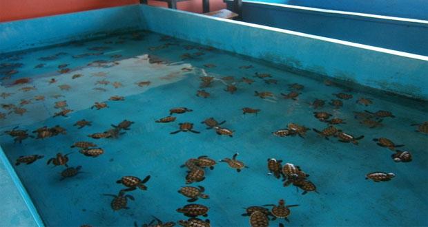 Penangkaran penyu di tempat wisata Pulau Pramuka (foto : rentalspeedboat.wordpress.com)