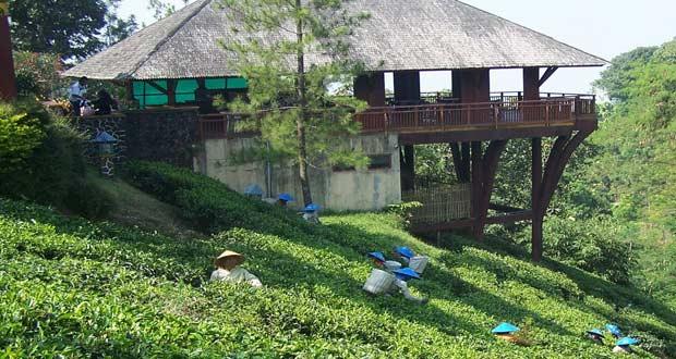 Kebun Teh Wonosari Malang adalah salah satu tempat wisata di Malang dan sekitarnya yang menawarkan wisata kebun teh (Foto : wisatamurahmalang.com)