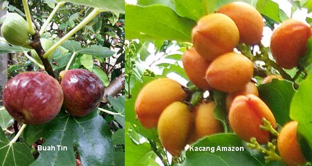 buah-tin-dan-kacang-amazon