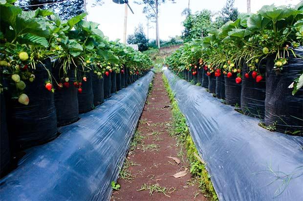 Natural Resto & Strawberry Land