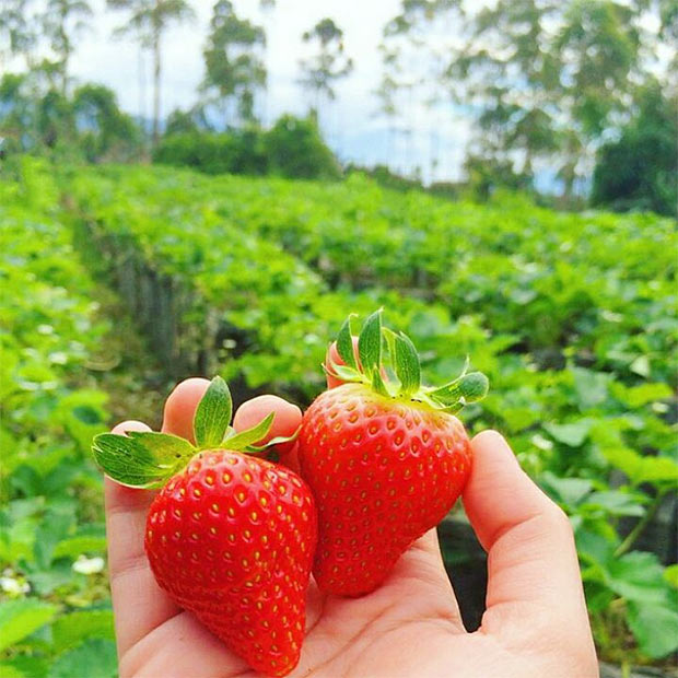Wisata-Petik-Strawberry