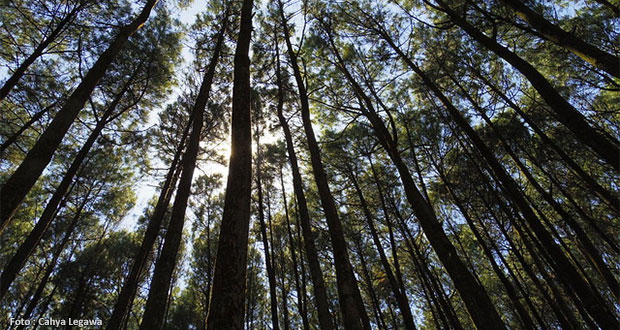 Hutan-Pinus-Mangunan-Jogja